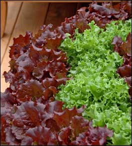 Buy Oragnic vegetables Leaf Lettuce