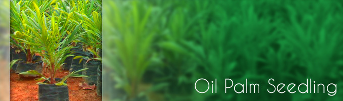 Buy Palm oil seedling