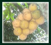 Buy Fresh fruits duku