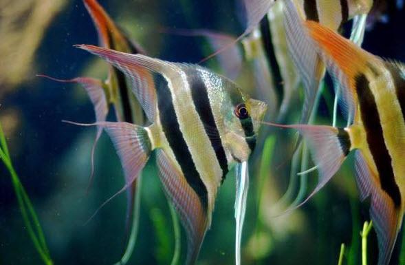 Tropical Fish- Angel Fish buy in Kuala Lumpur
