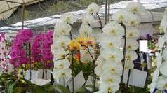 Buy Phalaenopsis