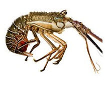 Buy Rock Lobster (Panulirus Orantus)