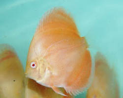Buy Albino Golden Red Diamond