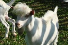 Buy Saanen Goat