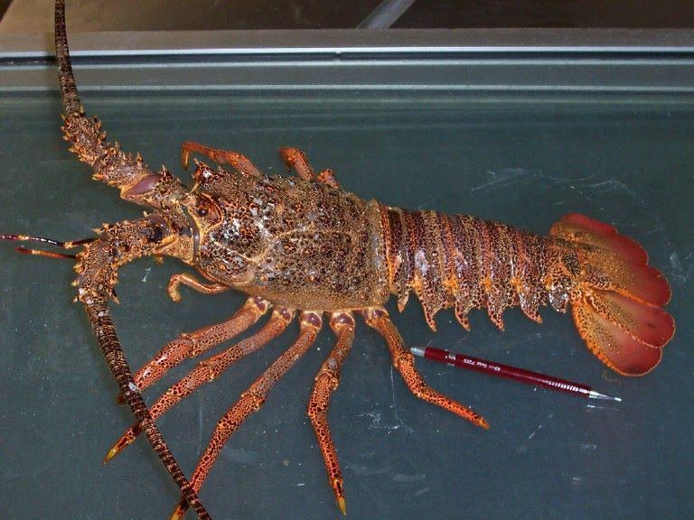 Buy Caribbean Rock Lobsters