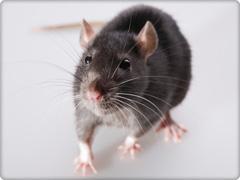 Pesticides form rats