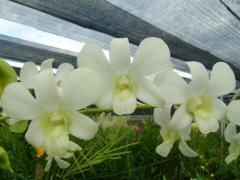 Dendrobium Shavin White