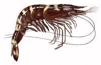 Black Tiger Shrimp Feed