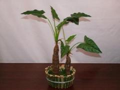 Small Calla Tree X 2