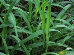 Asteraceae plants