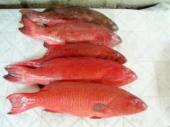 Fish fresh frozen Red Grouper Fish