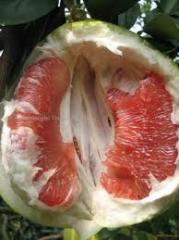 Oranic fruits Pomelo