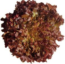 Greenhouse vegetables lettuce red oak leaf