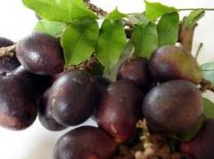Exotic fruits Brazilian longan