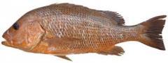 Fresh fish Golden Snapper