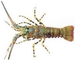 Lobster Tiger Lobster