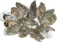 Oysters Oysters