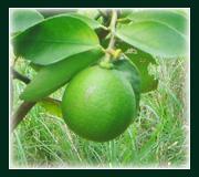 Fresh fruits lime