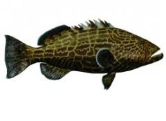 Fish, fresh frozen King Grouper