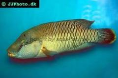 Fish, fresh frozen Humphead Wrasse