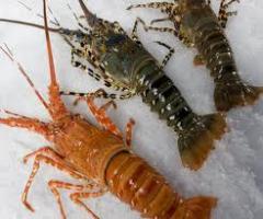 Lobster Australia Lobster