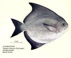 Fish, fresh frozen Bawal Tambak