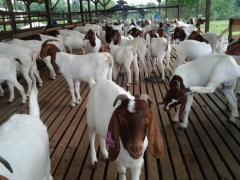 Farm animals Doe