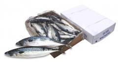 Fish, fresh frozen Saba Mackerel