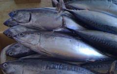 Frigate Tuna
