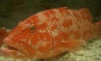 Leopard Coral Grouper (Live)