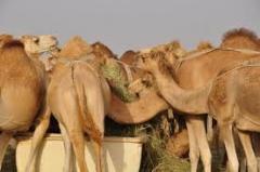 Live Camels