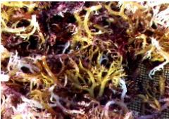Dried Seaweed (Eucheuma Cottonii)