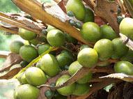 CP8 Palm Oil