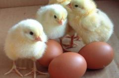 Broiler hatching eggs Cobb500 and Ross 308
