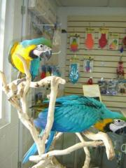 Breeding pair macaw parrots