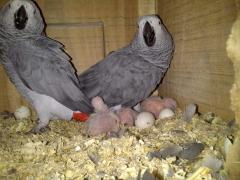 Parrots and Fresh and fertile parrots eggs
