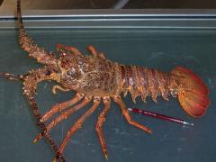 Caribbean Rock Lobsters