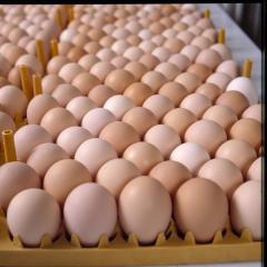 Fresh white and brown Chicken Eggs /  Fertile Eggs