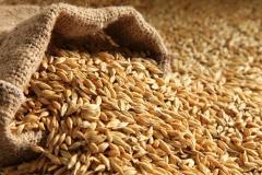 High quality Barley Grains