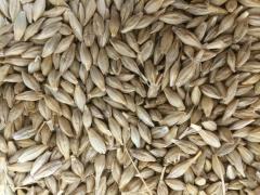 Barley Grain / Barley Grain for Malt / Hulled Barley Grain / Barley Seeds / Barley Malt Grain