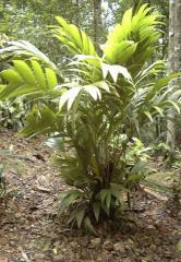Seedlings Areca sp. Gunung Moi
