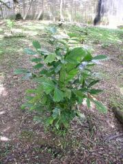 Seedlings Arenga borneensis