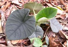 Seeds Alocasia chaii 'Batu'