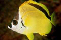 דג פרפר