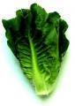 Organic vegetable mini lettuce