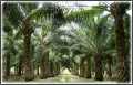 Oil Palm Plywood (OPT)