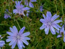 Order Chicory