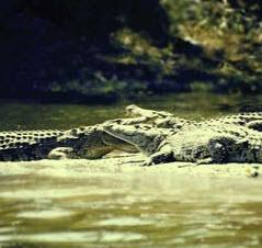 Order Jong's Crocodile Farm