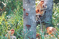 Order Klias Proboscis Monkey